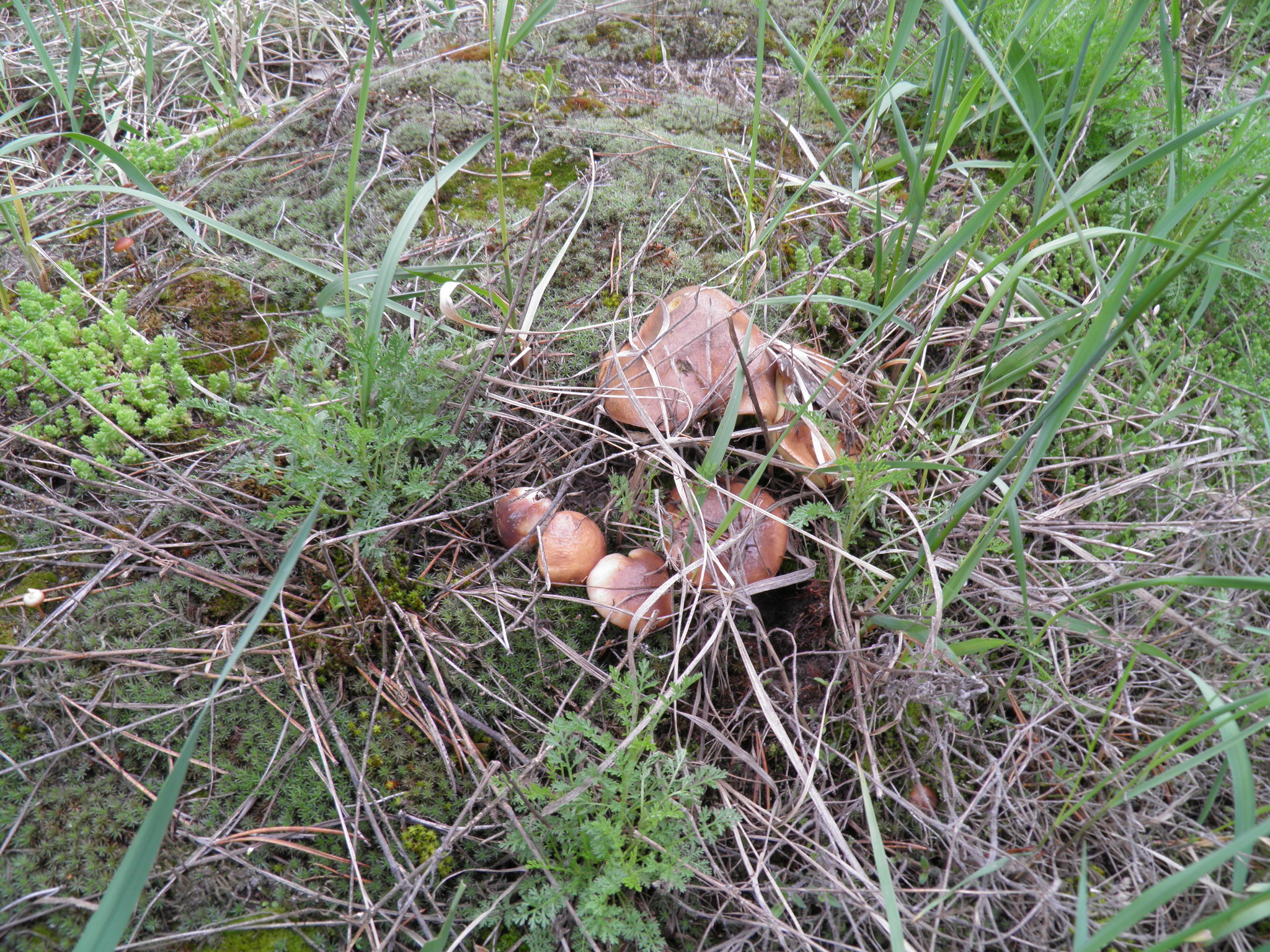 съедобные грибы центрального черноземья с фото поможет