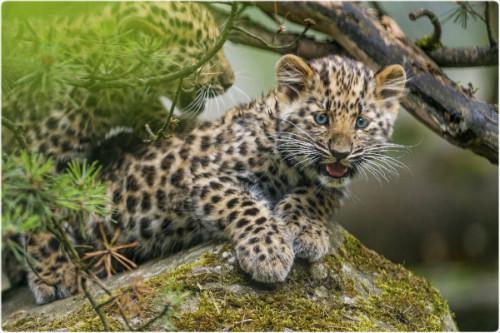 Sri Lankan leopard  Wikipedia