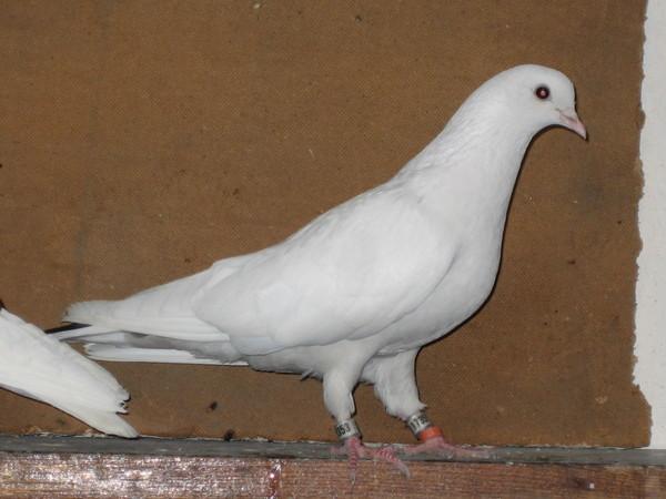 почему фото голубей на алтае это