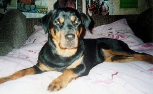 Resultado de imagen para собака  rottweiler спит в моей кровати