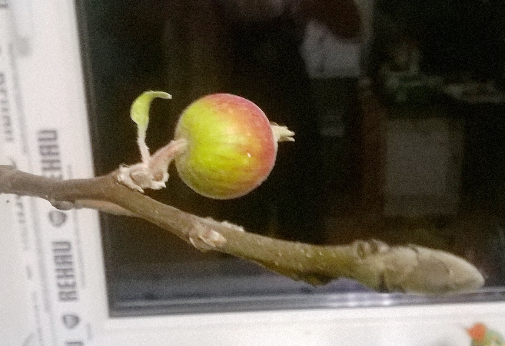 фото цветочной почки яблони признан сумасшедшим