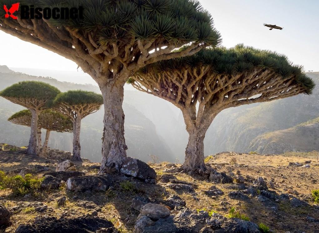 Дракон-дерева-Сокотр Йемен бисоцнет