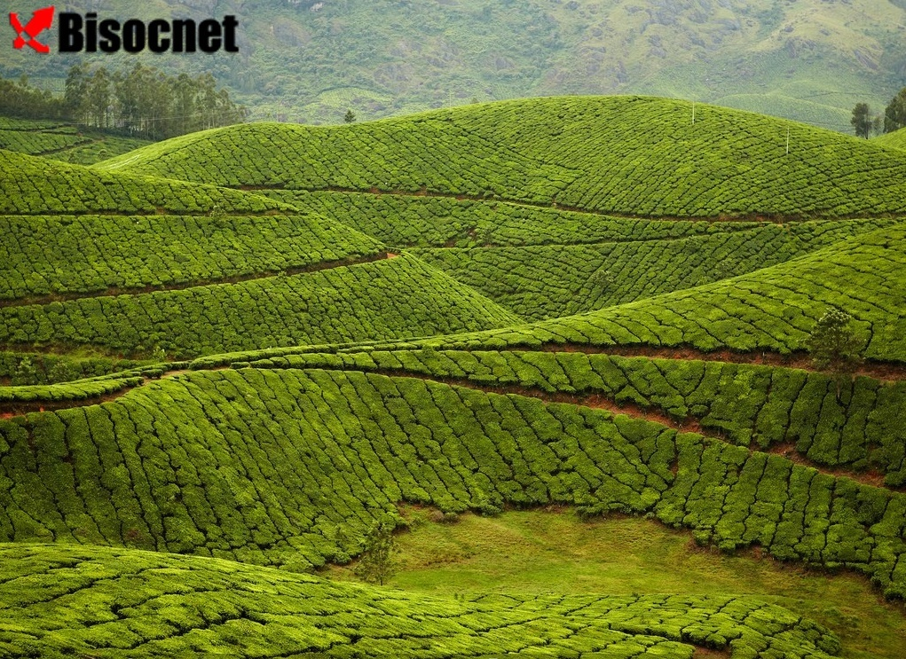 Kolukkumalai Tea Estate: Муннар, Индия