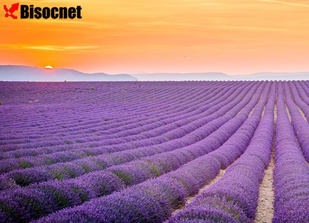 Лавандовые поля: Прованс, Франция