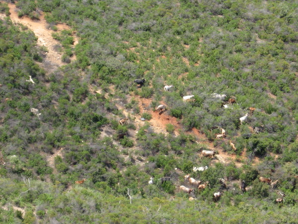 При ближайшем рассмотрении на склонах были обнаружены стада коз