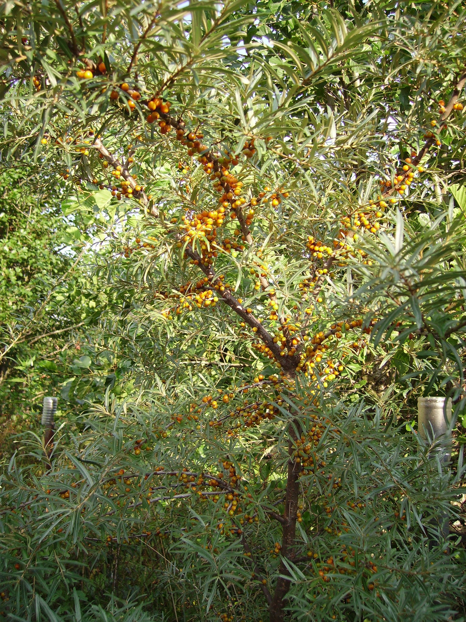 Sea buckthorn hippophae shrub smal tree medical pretty 50 unroot cuttings z 2 ebay - Growing sea buckthorn ...