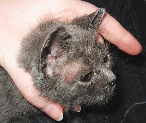 Милиарный дерматит кошек - Избавляемся от прыщей за день!