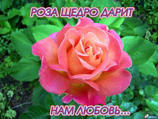 Чтобы посмотреть обою для рабочего стола Розы - Цветы : 184250 в...