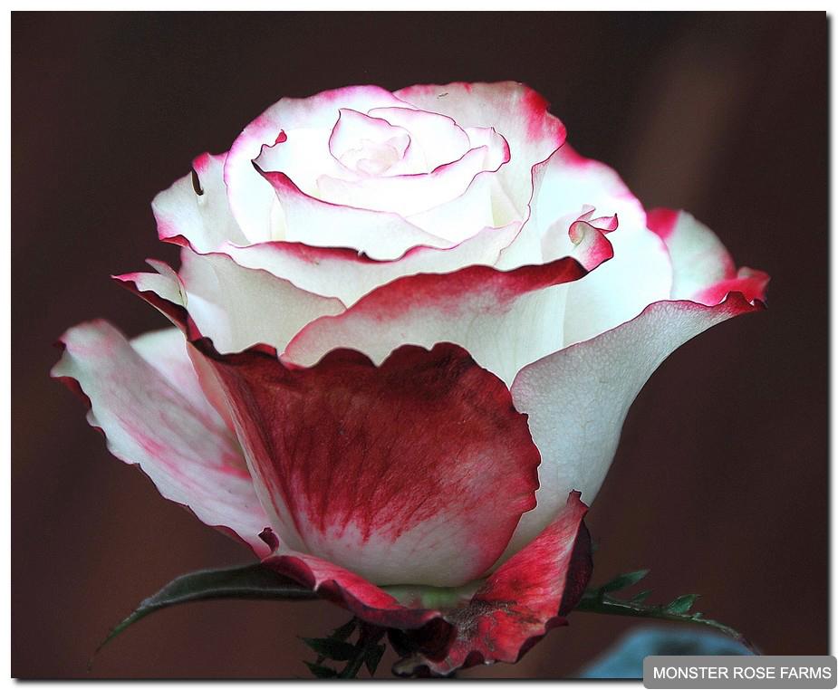 150. Красивоцветущее растение, высота зависит от сорта розы. .  Устойчивость в срезке средняя 5-10 дней.