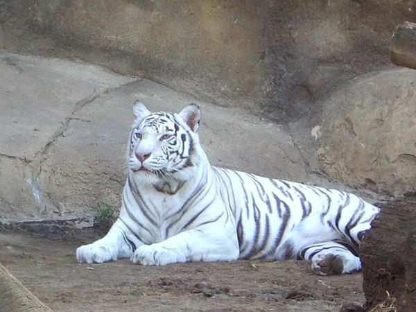 Фотографии тигров и тигрят.  Тигр.  Белые тигры.