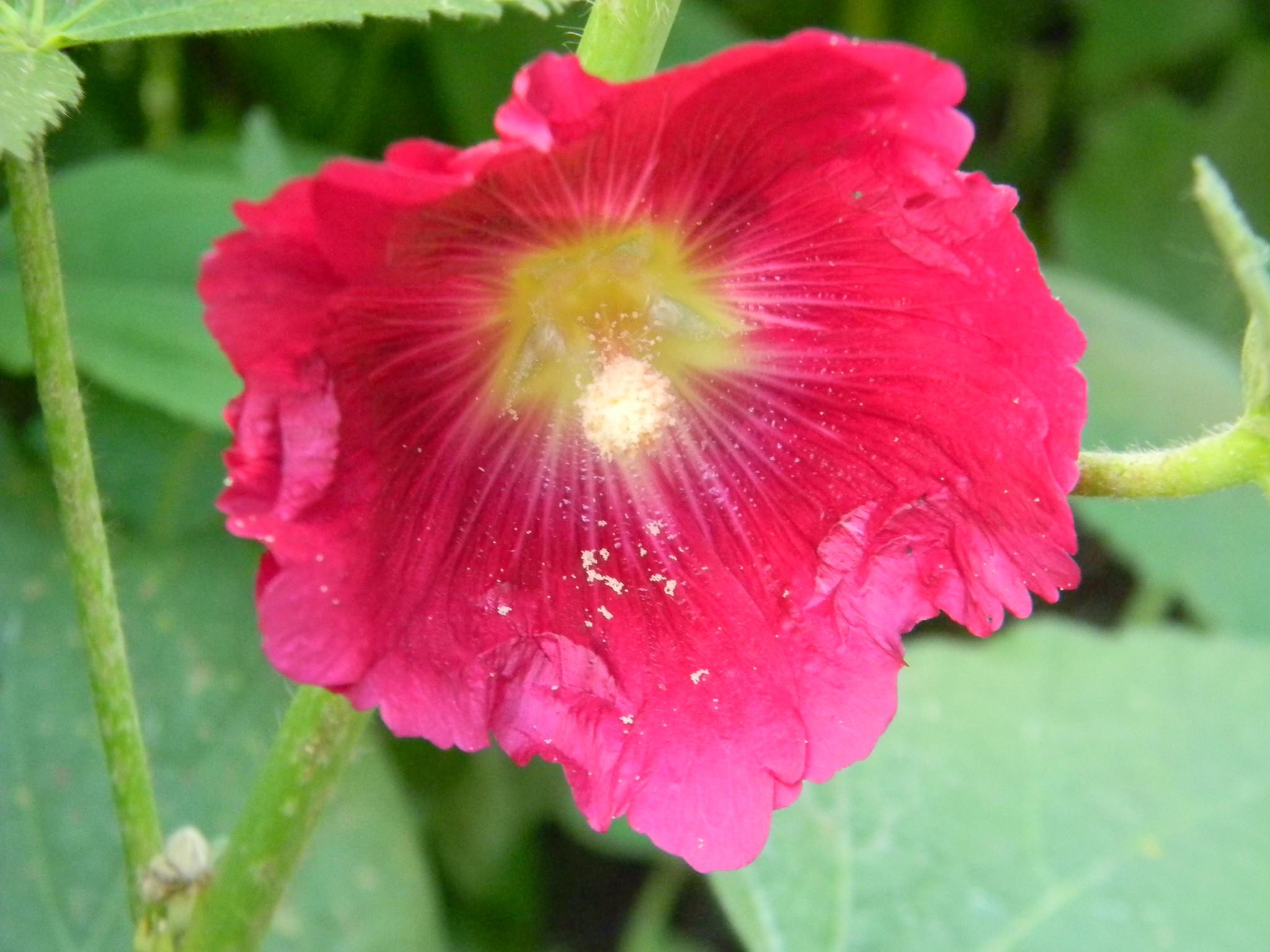 Шток-роза (Alcea)