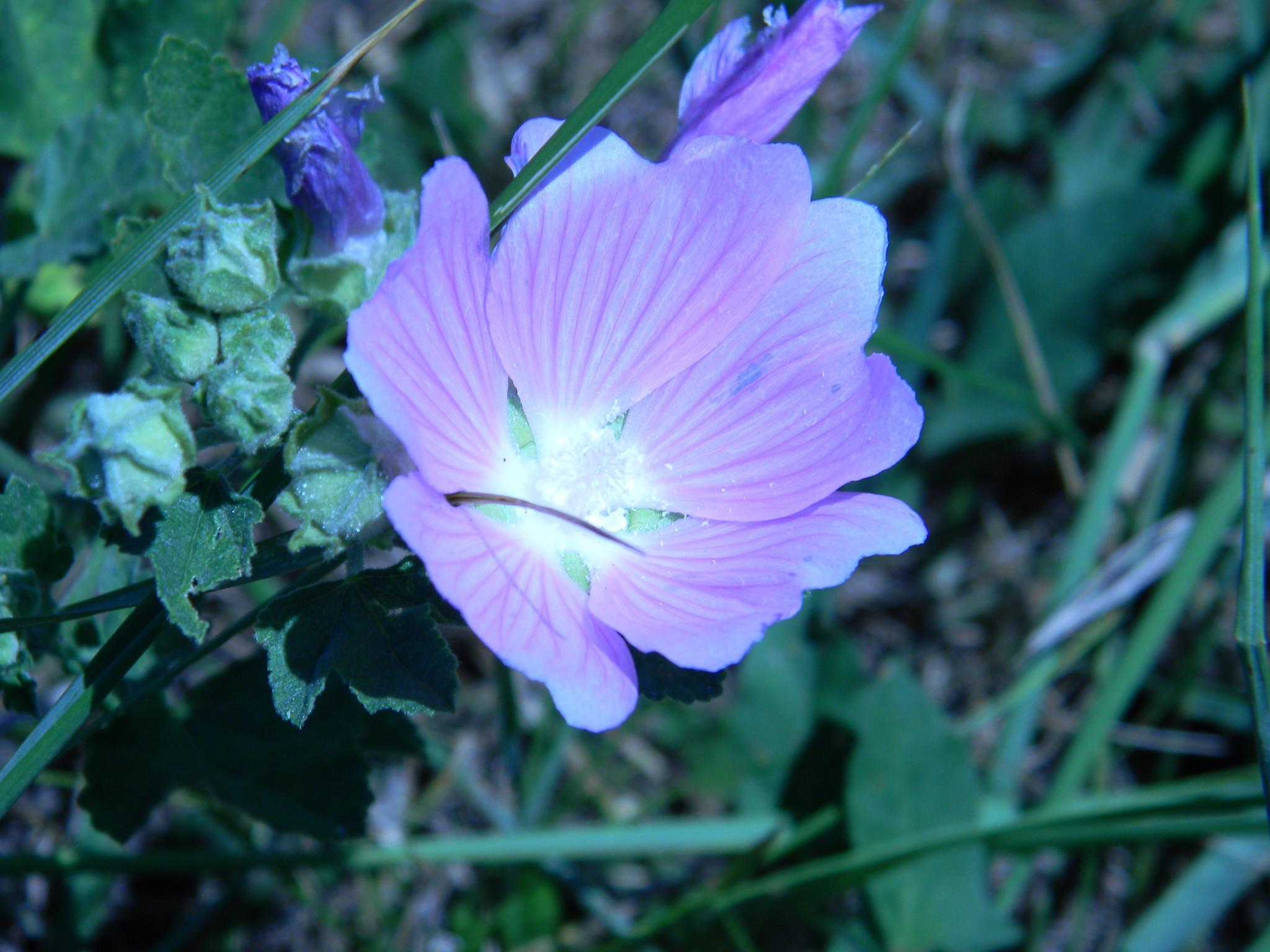 Хатьма тюрингенская (Lavatera thuringiaca)