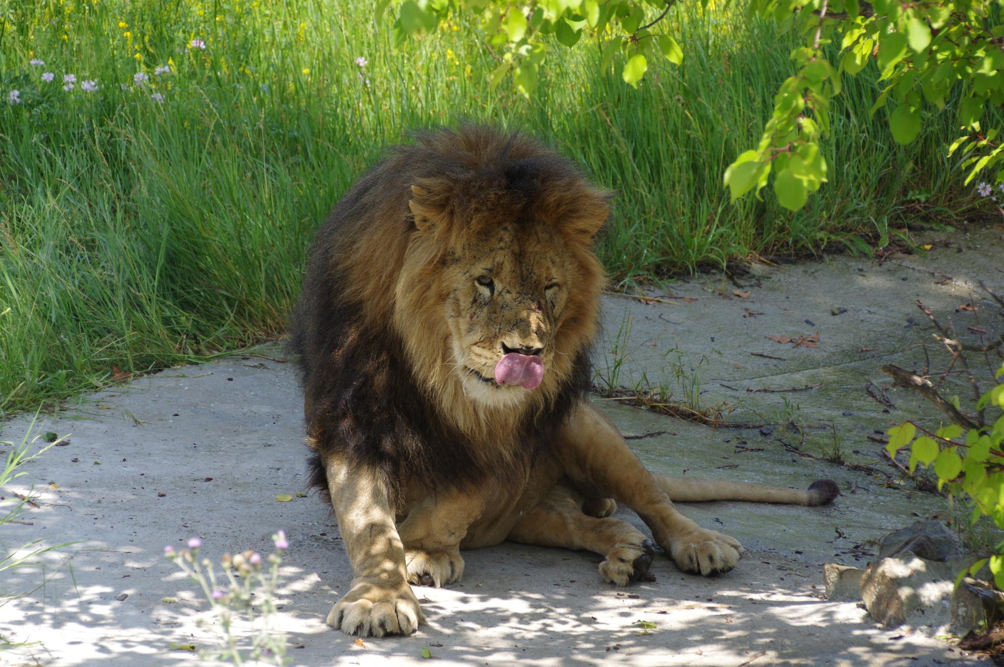 Лев в сафари-парке «Тайган»
