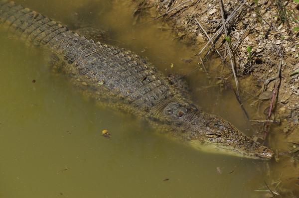 Крокодил в сафари-парке «Тайган»
