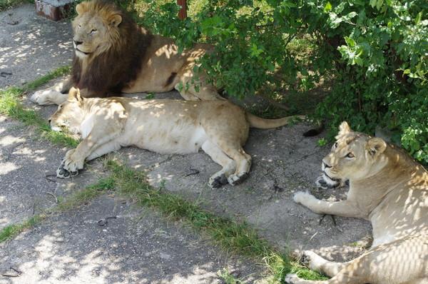 Львы в сафари-парке «Тайган»