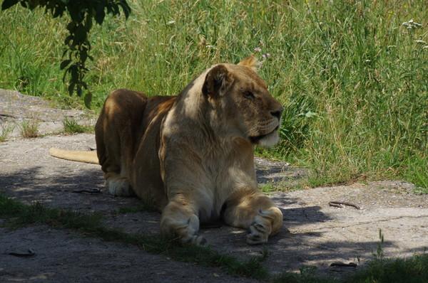 Львица в сафари-парке «Тайган»