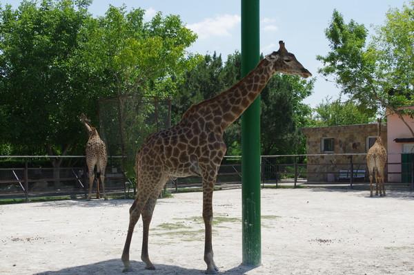Жирафы в сафари-парке «Тайган»