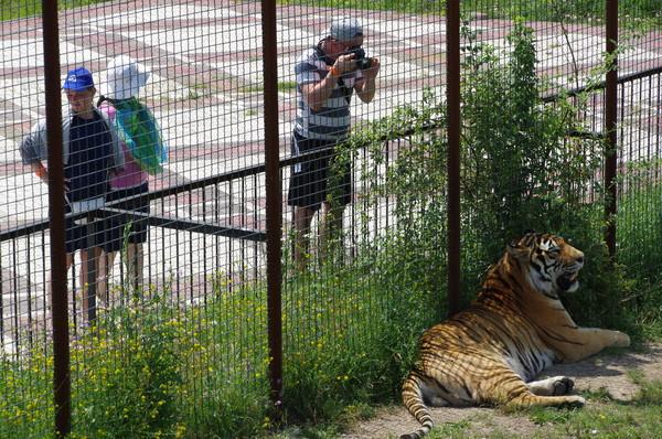 Амурский тигр в сафари-парке «Тайган»