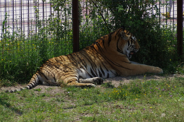 Тигр в сафари-парке «Тайган»