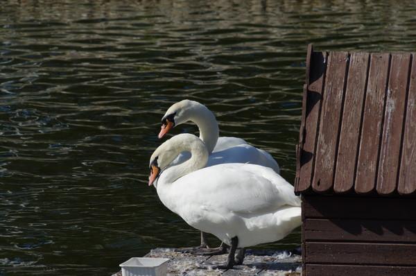 Лебеди в Лианозовском парке