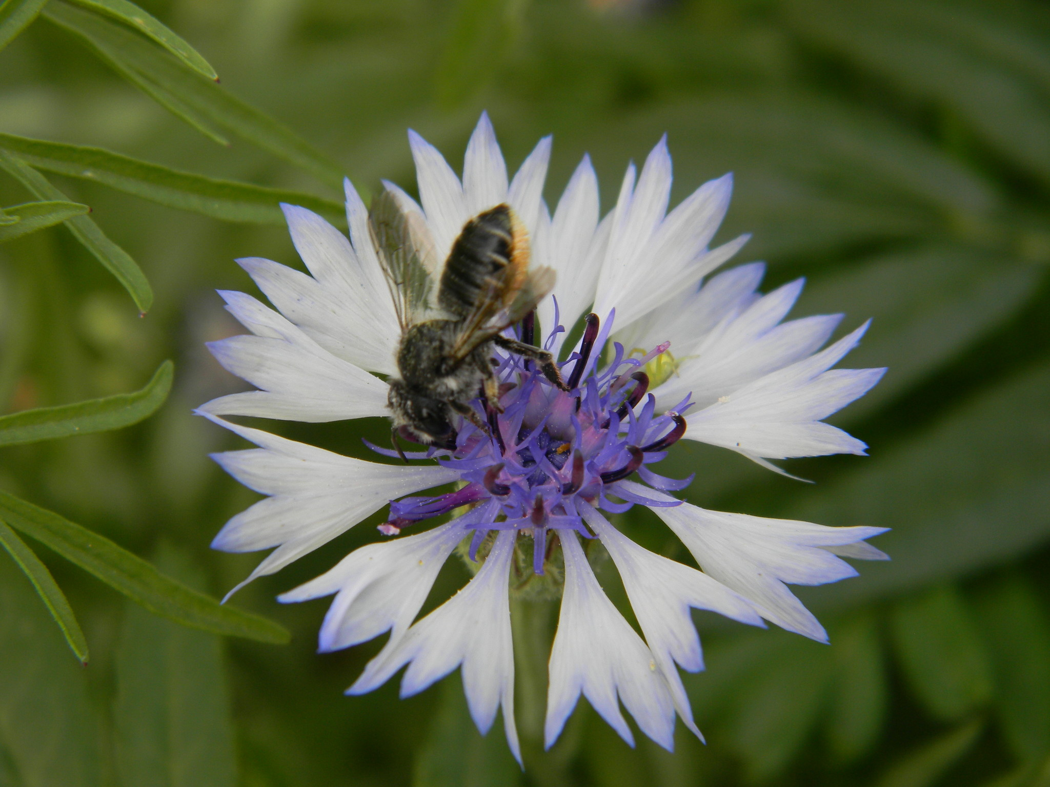 Пчела на цветке василька