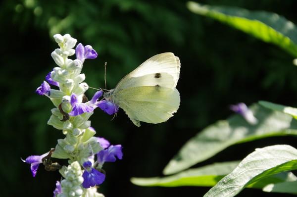 Капустница или белянка капустная (лат. Pieris brassicae)