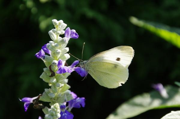 Капустница - дневная бабочка из семейства белянок (Pieridae)