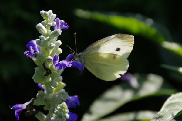 Капустница (Pieris brassicae)