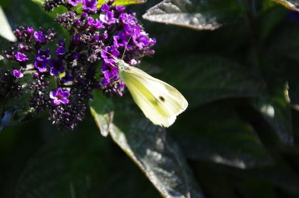 Белянка капустная (Pieris brassicae)