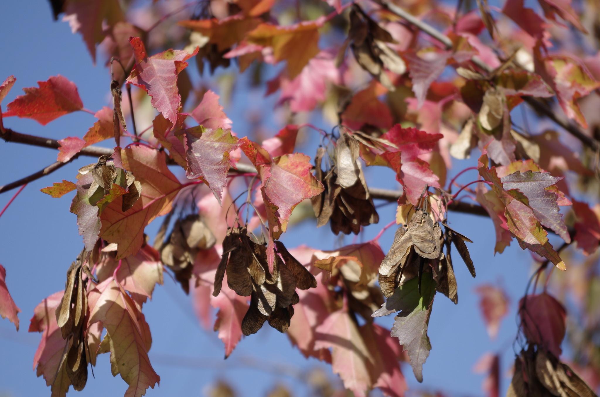Клён (лат. Acer) осенью