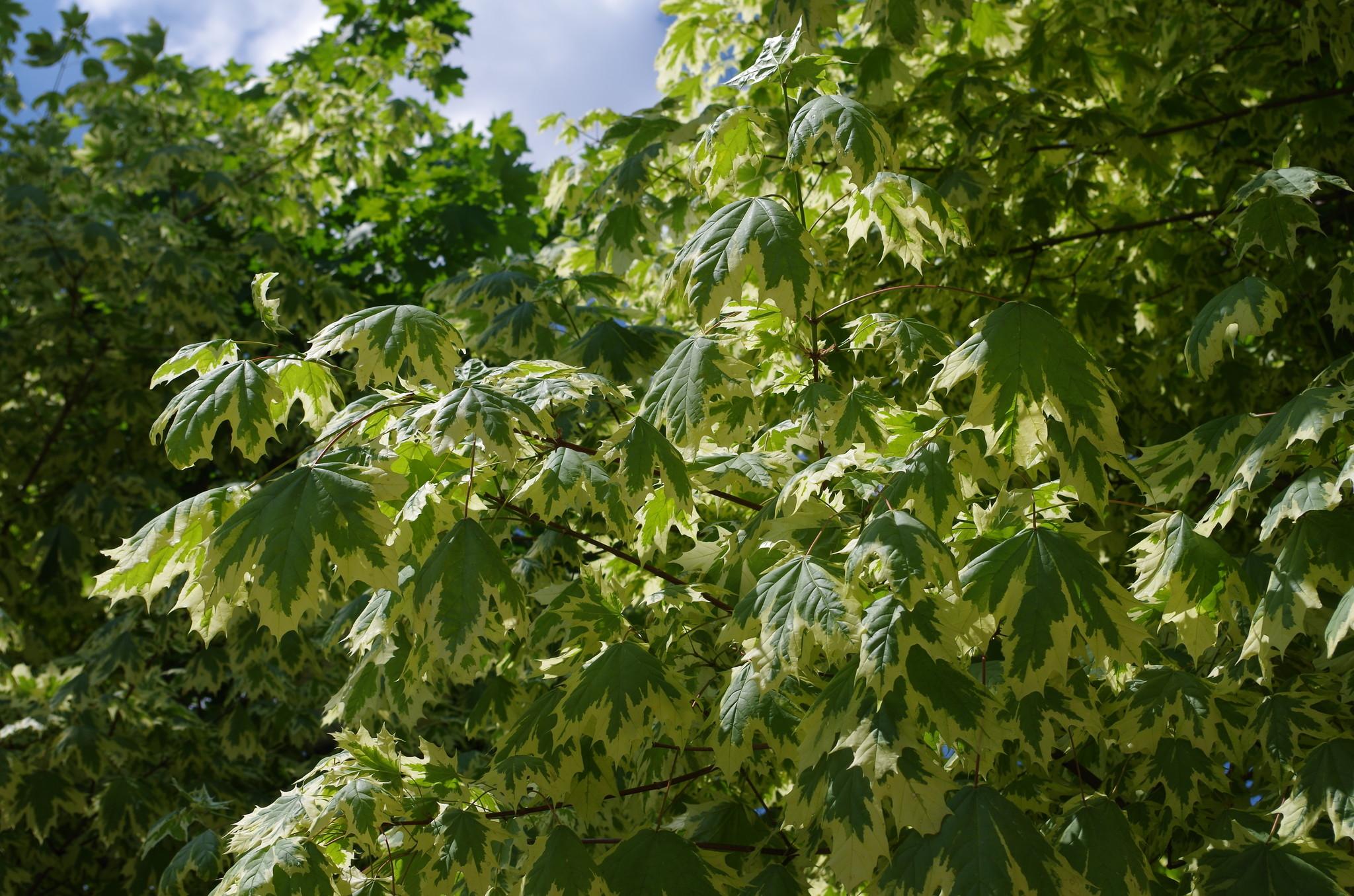 Клён остролистный Друммонди (Acer platanoides Drummondii)