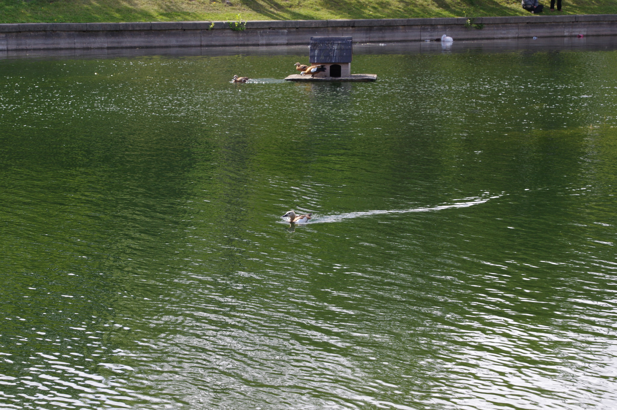 Огари на пруду в Гончаровском парке