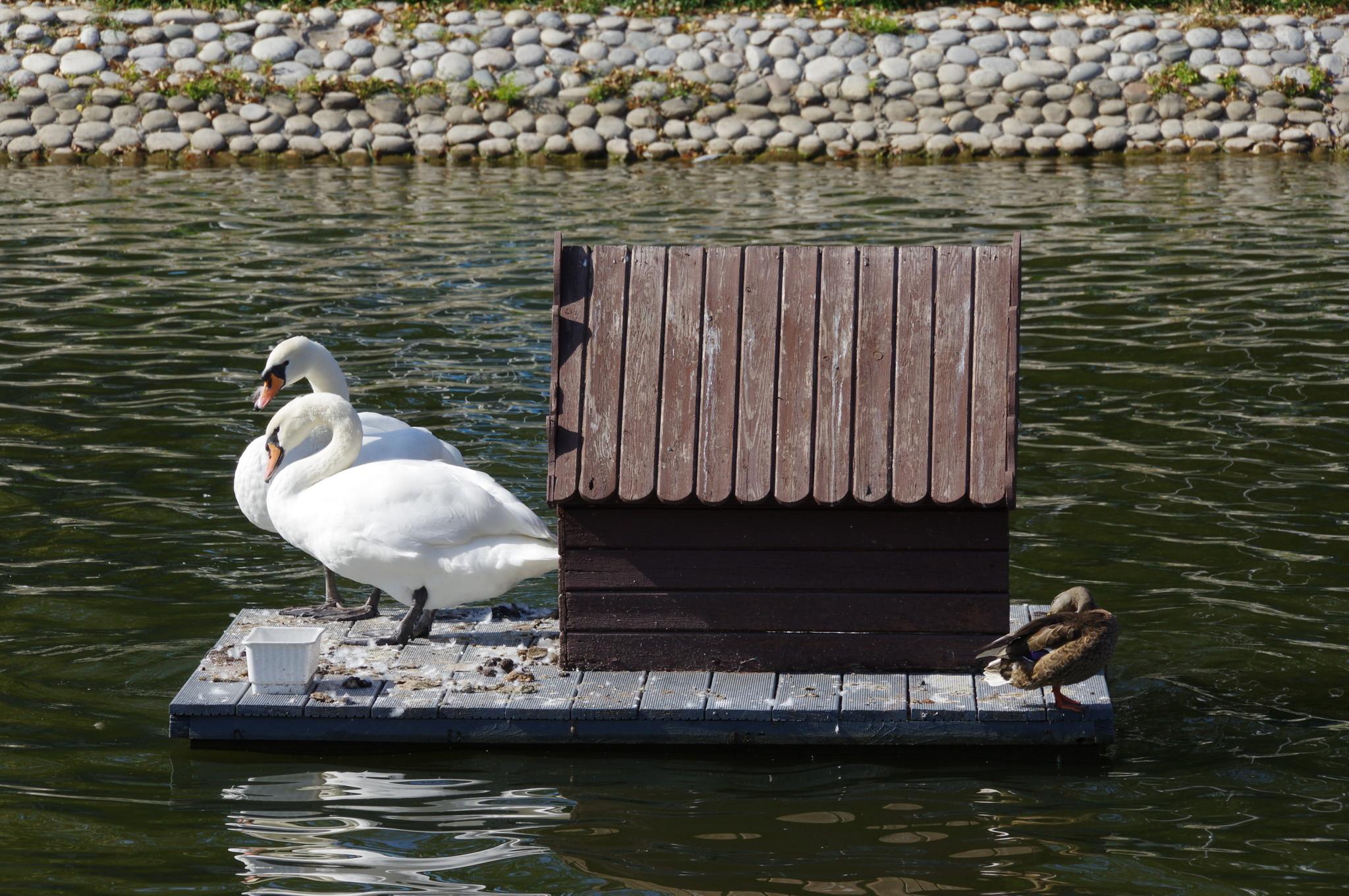 Лебеди и утка кряква на пруду Лианозовского парка