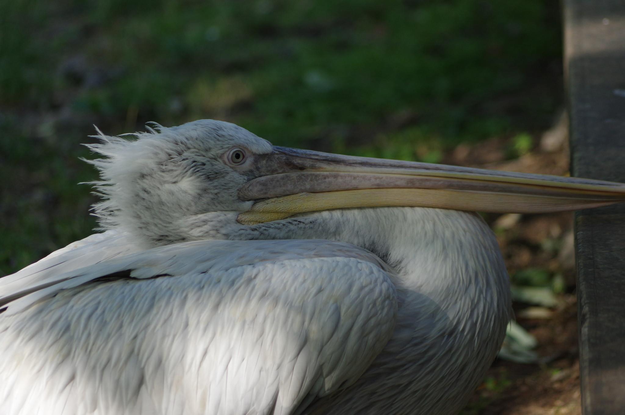 Пеликан в Московском зоопарке