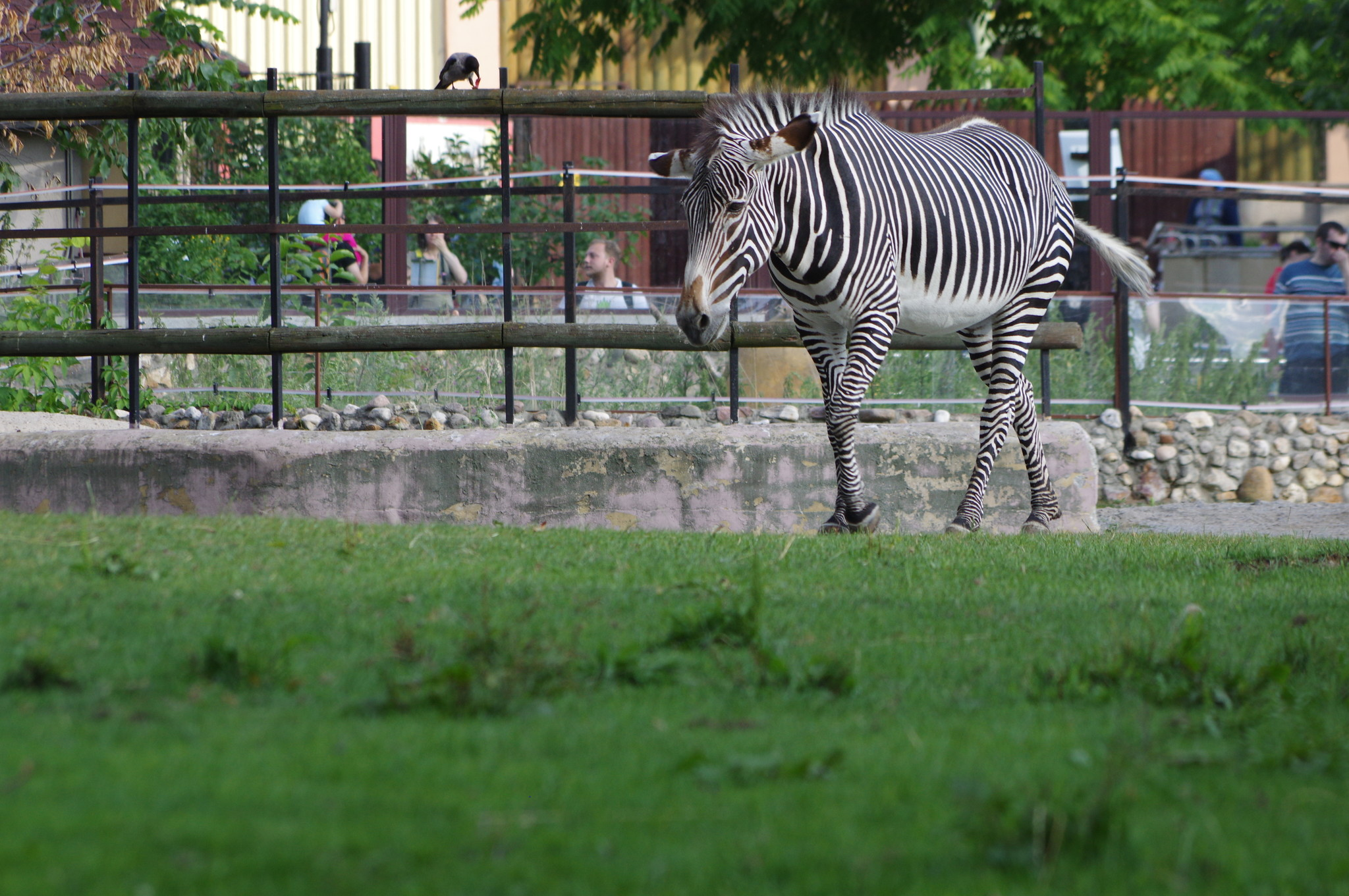 Зебра в Московском зоопарке