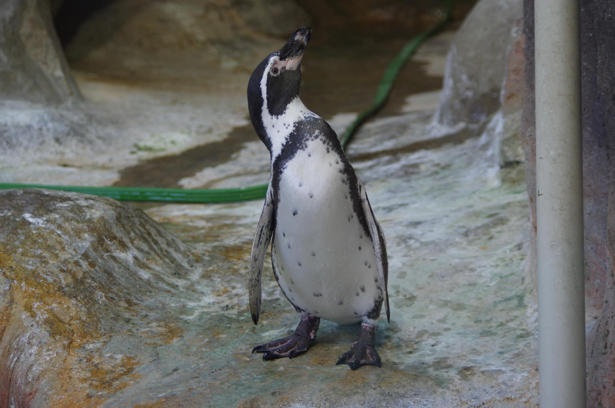 Пингвин Гумбольдта