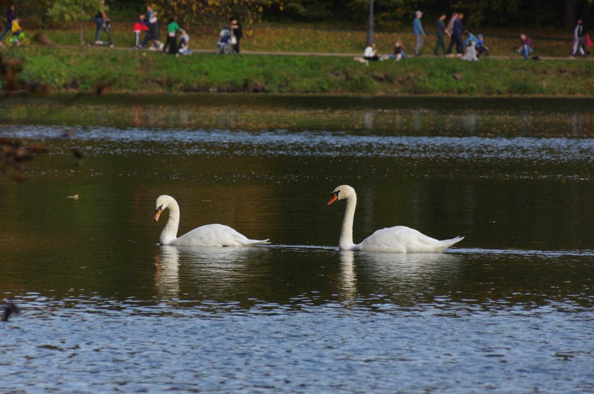 Белые лебеди на территории музея-заповедника «Царицыно»