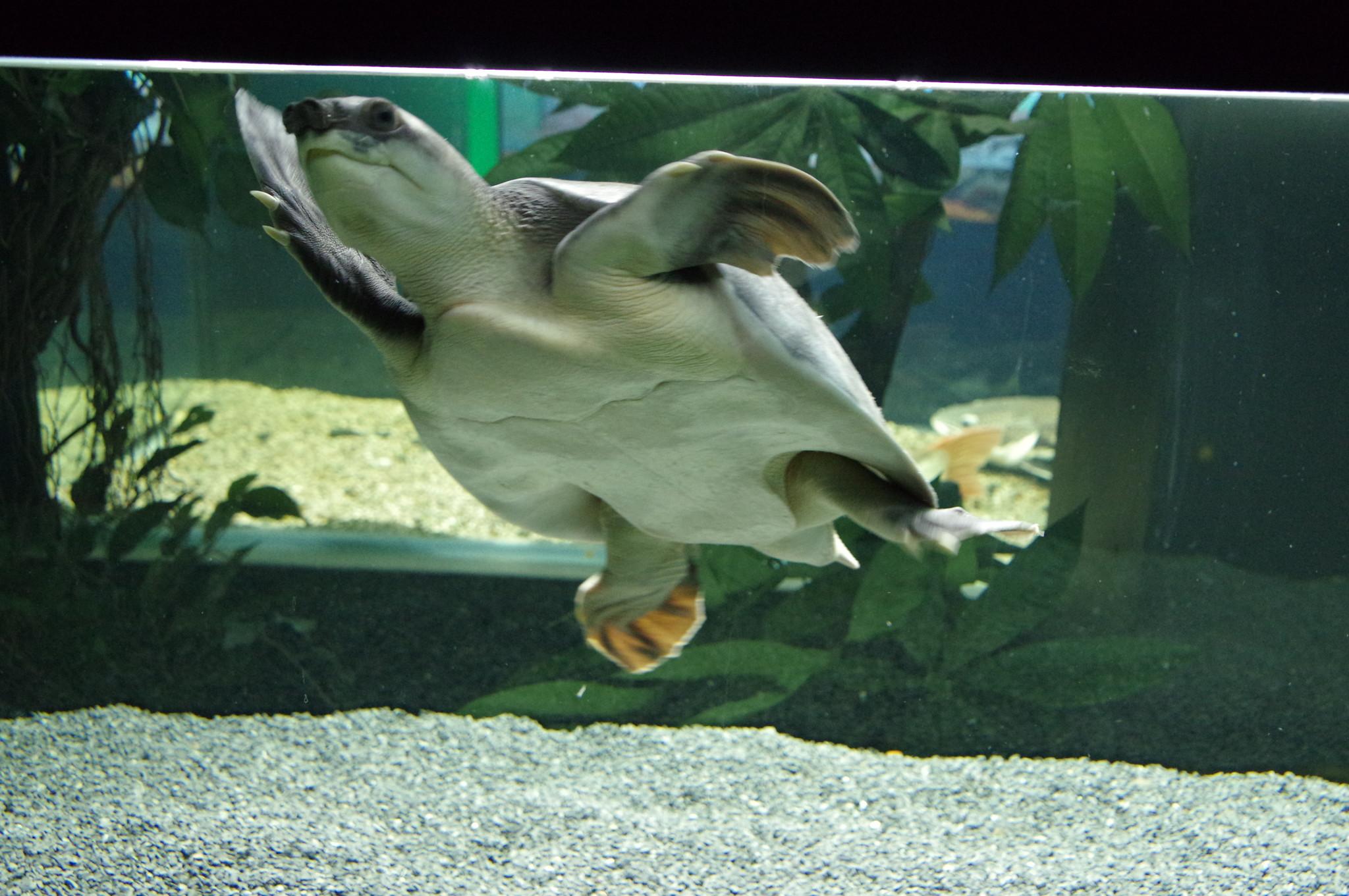 Китайский трионикс. Музей истории аквариумистики (улица Арбат, дом 17)