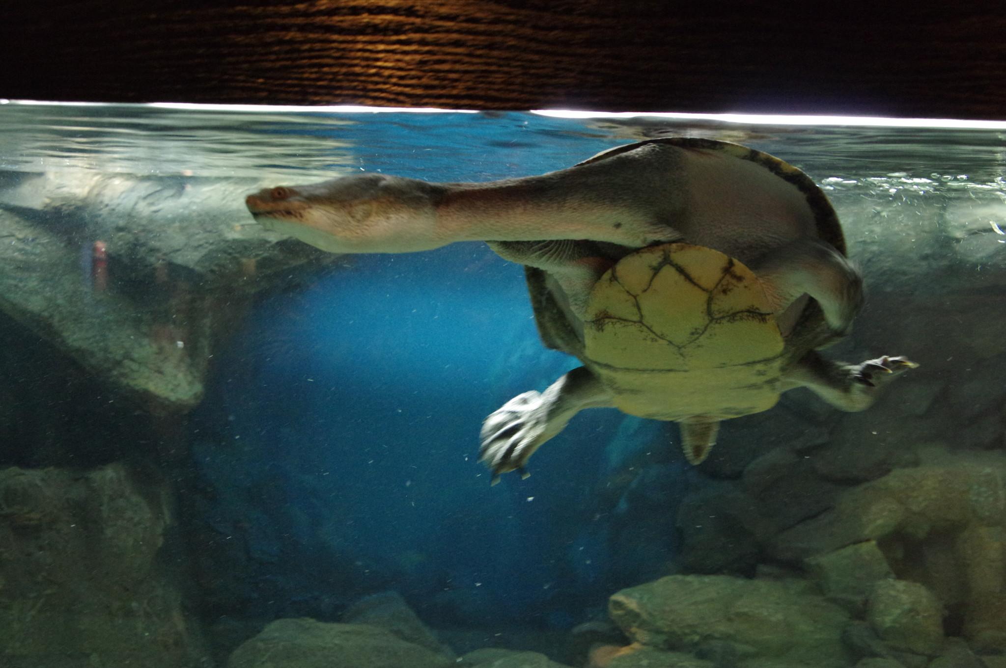 Амазонская змеиношейная черепаха. Музей истории аквариумистики (улица Арбат, дом 17)
