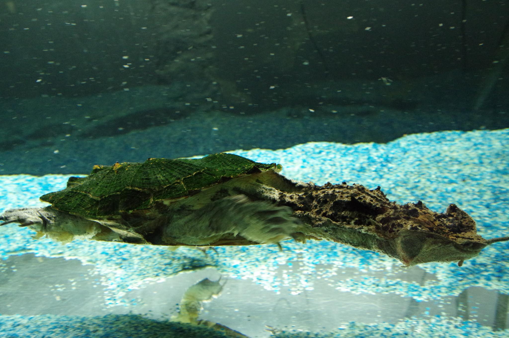 Бахромчатая черепаха, или мата-мата, или матамата - южноамериканская пресноводная черепаха из семейства змеиношеих, выделяемая в монотипный род Chelus. Обладает крайне причудливой и своеобразной внешностью