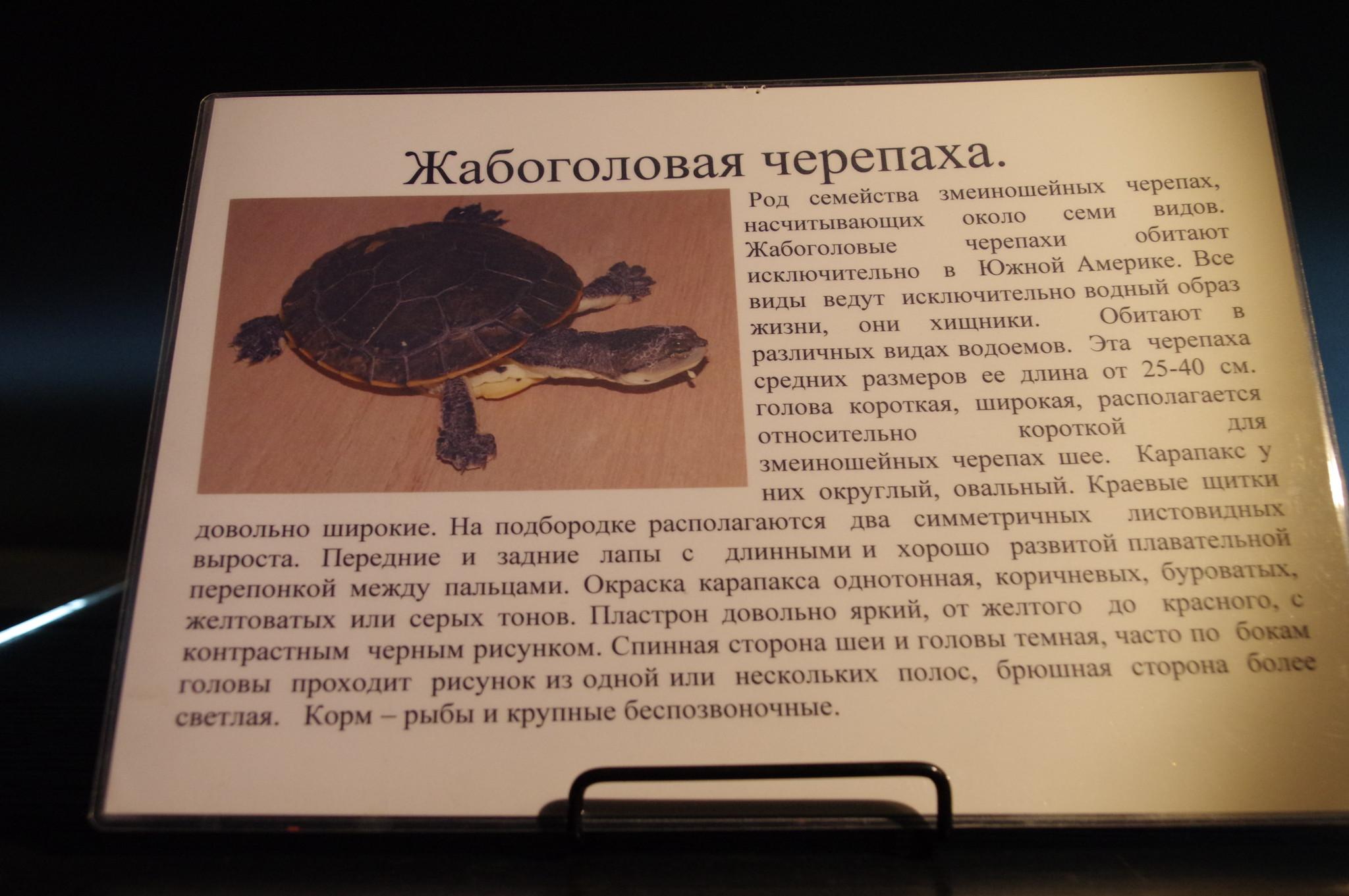 Жабоголовая черепаха. Музей истории аквариумистики (улица Арбат, дом 17)