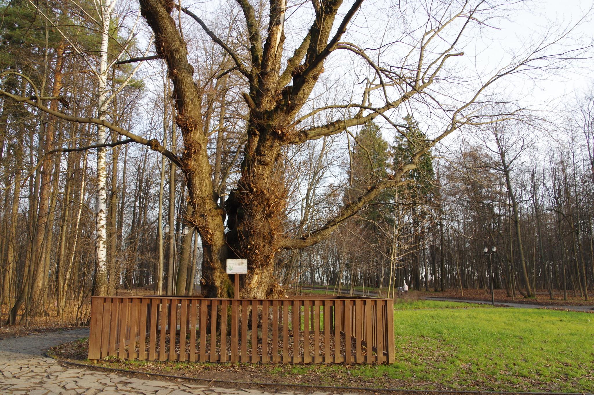 Клён сахаристый (Acer saccharinum) в усадьбе Архангельское-Тюриково. Возраст - около 250 лет. Диаметр ствола - 1,6 метра. Высота - около 30 метров