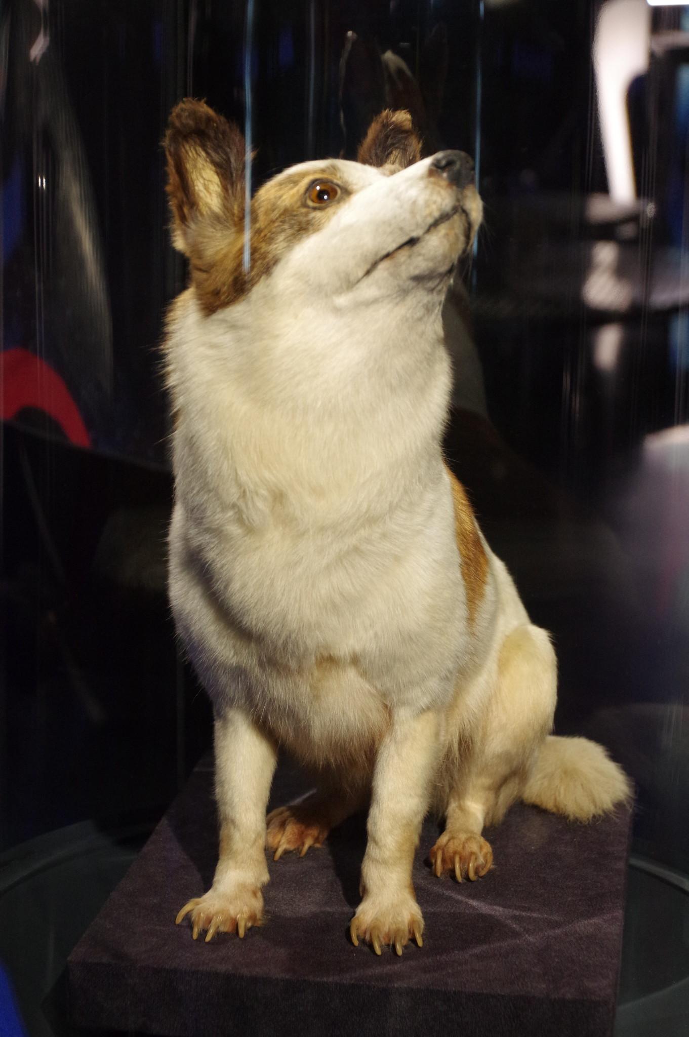 Чучело собаки Стрелки в Музее Космонавтики
