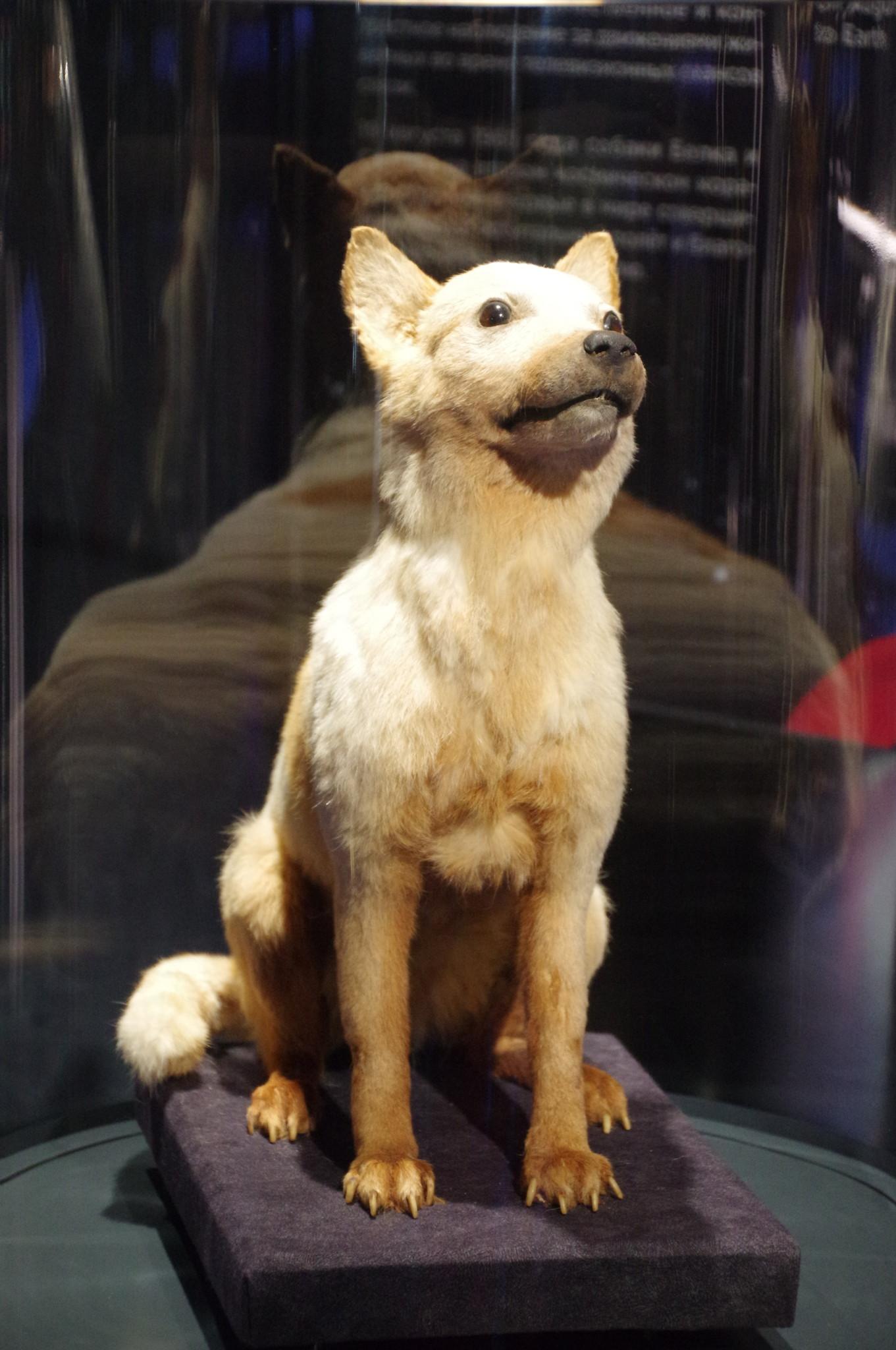 Чучело собаки Белки в Мемориальном музее космонавтики в Москве