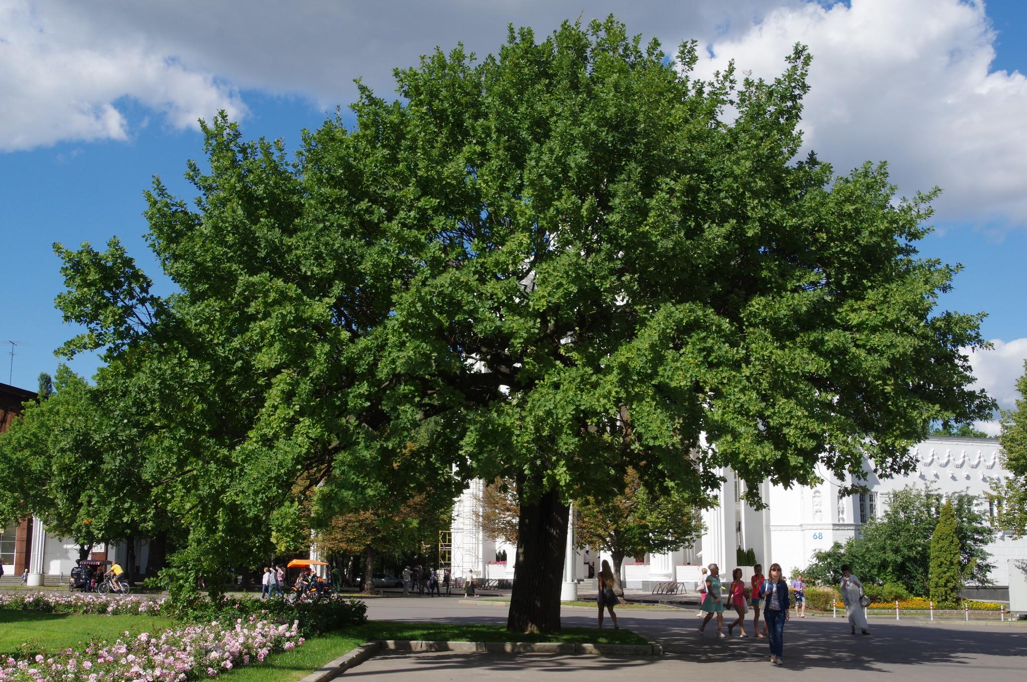 Примерный возраст этого дуба — около 220 лет