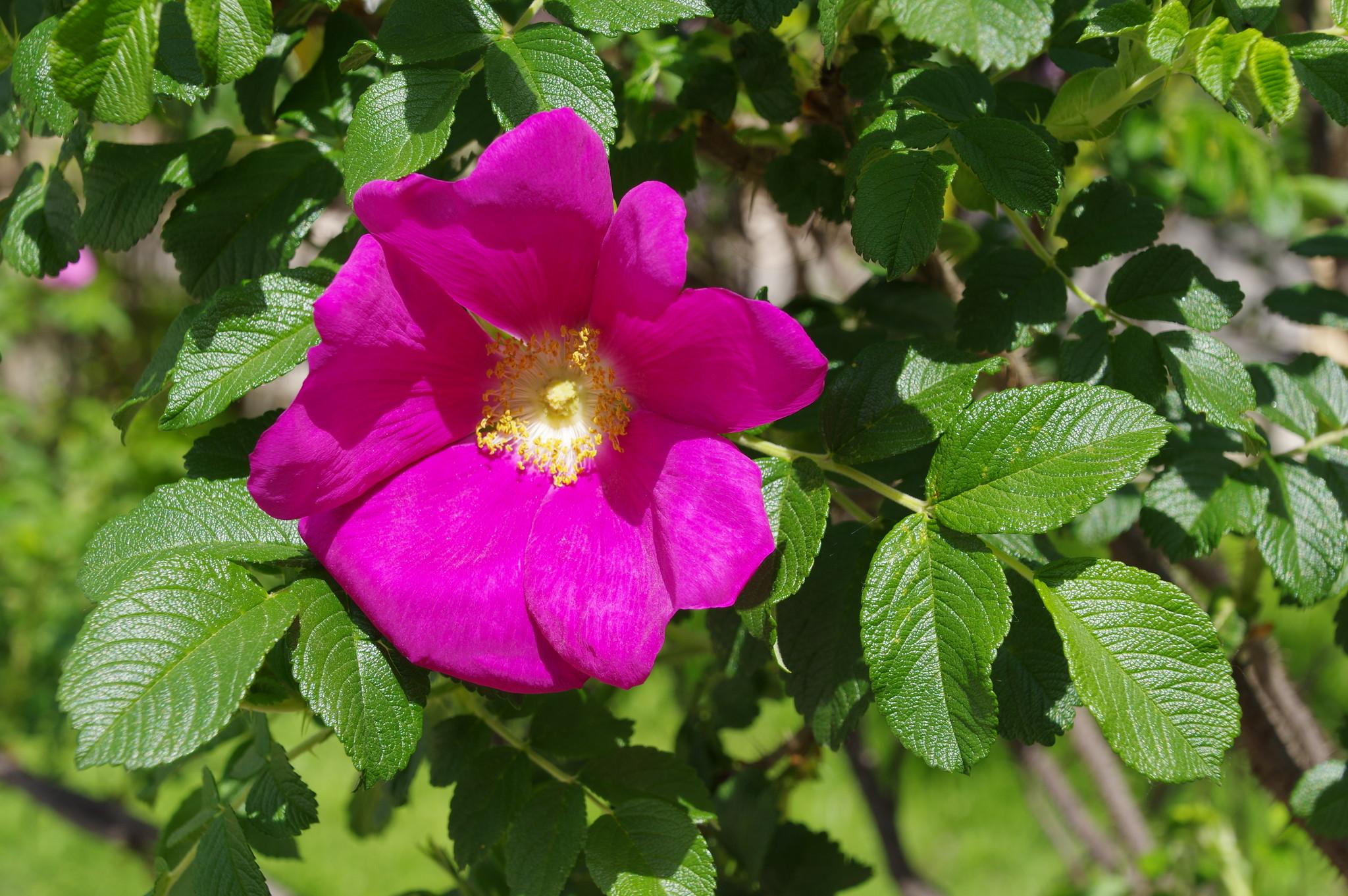 Шиповник обыкновенный или дикая роза (Rоsa)