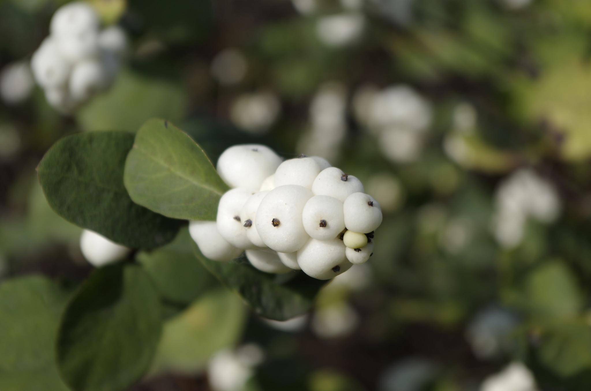 Снежноягодник белый (Symphoricarpos albus)