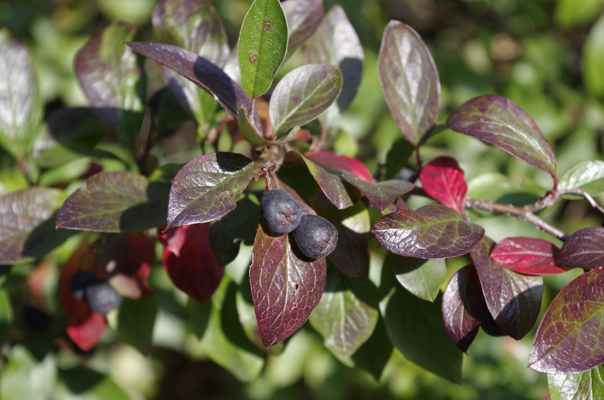 Черноплодная рябина (Aronia melanocarpa)
