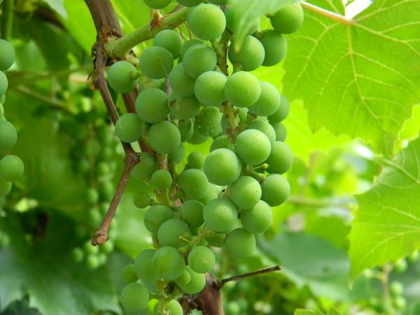Плоды и листья винограда