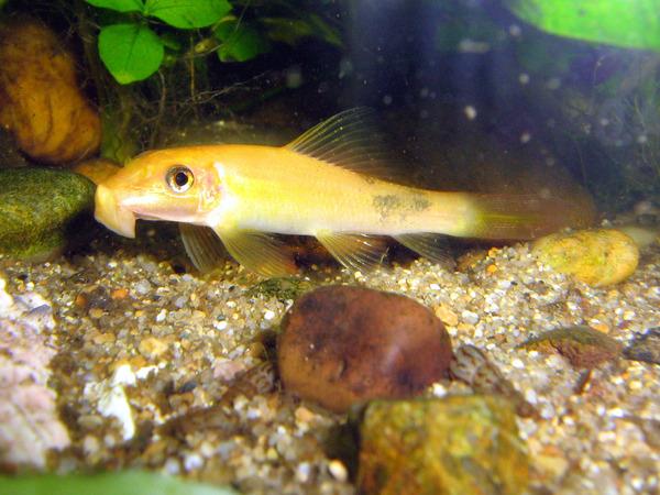 Аквариум и аквариумные рыбки • Просмотр темы - Гиринохейлусы  Птеригоплихт Альбинос